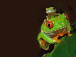Red Eye Tree Frog via NatGeo