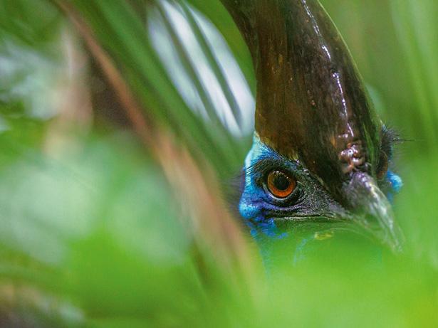 Cassowary hiding in the forest via NatGeo
