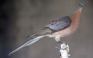 Image of a passenger pigeon via discovery