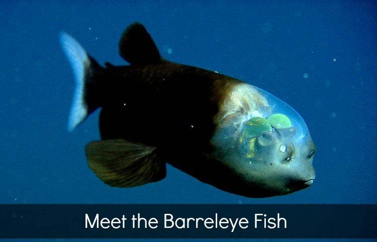 Barreleye fish via MBARI News