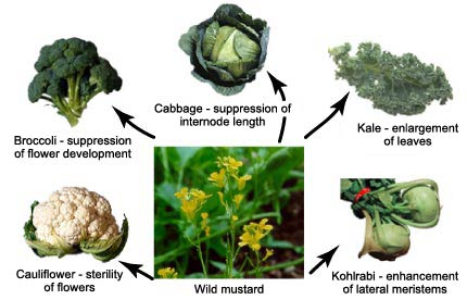 All these common vegetables were once wild mustard. (source)