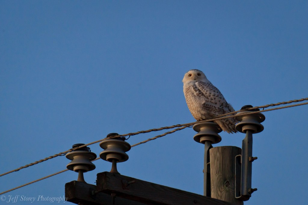 Snowy Owl in Harrisonburg, Virginia. Credit: Jeff Storey (2014)