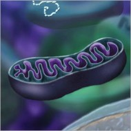 Mitochondria  (Credit: Nicolle Rager, National Science Foundation)