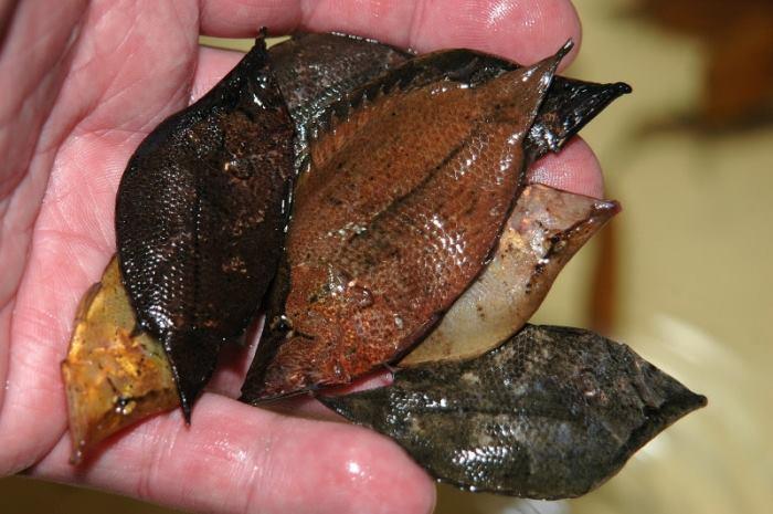 Leaf fish via FeaturedCreature