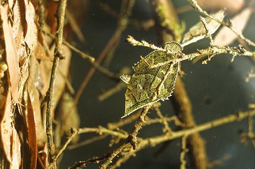 south american leaf fish