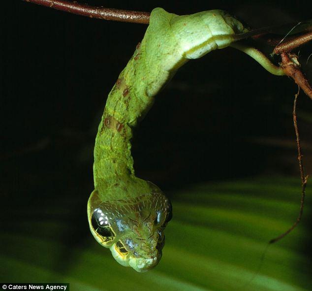 hawkmoth caterpillar (2)