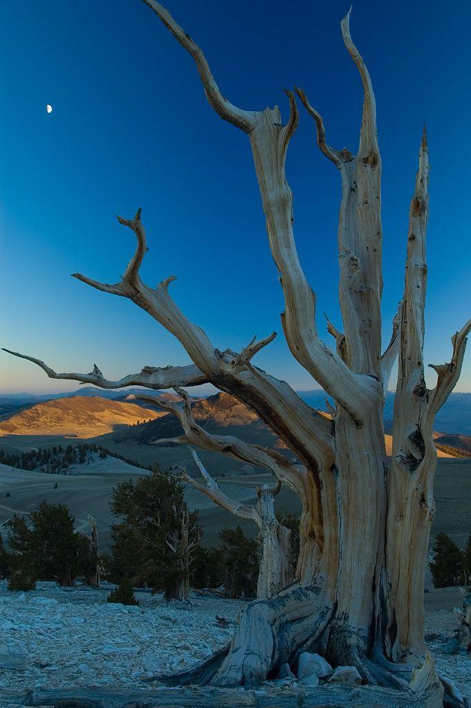 Bristlecone Pine via USDA