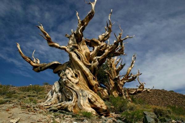 The Bristlecone pine. Image via USDA