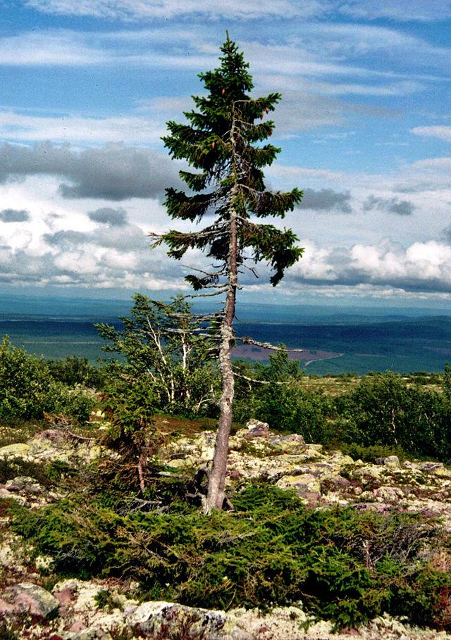 Old tjikko. The oldest individual tree. Image by Karl Brodowsky