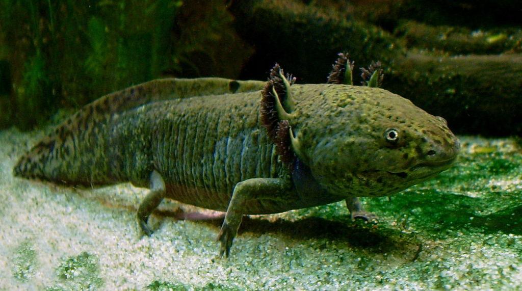 Axolotl. Image credit: LoKiLeCh/WikiMedia