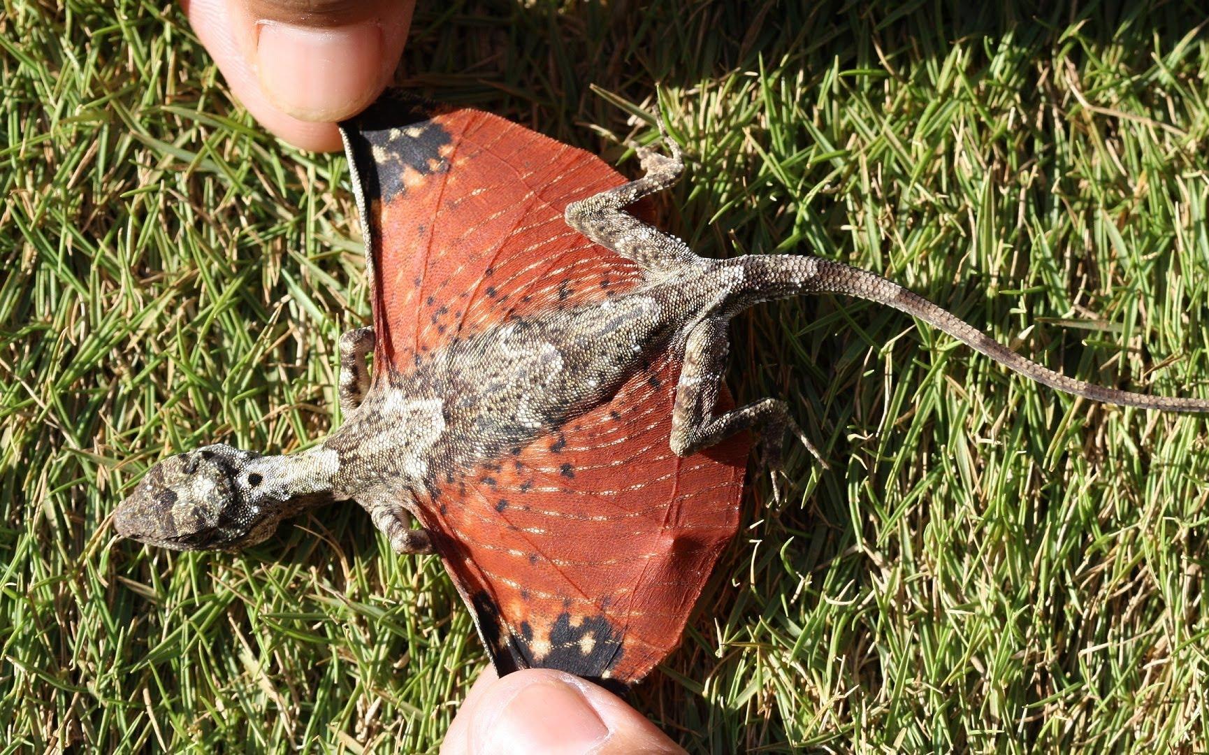 draco volans flying dragon