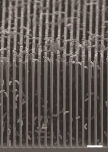 A cross-section of the nanowire/bacteria hybrid grid - (Image via LBL)