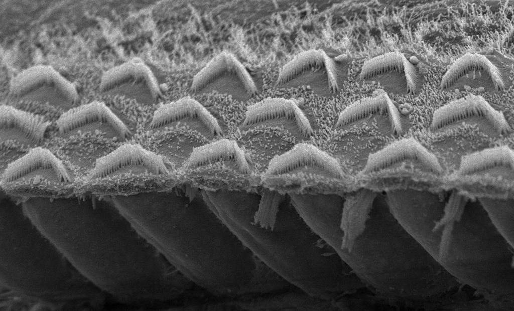 Closeup-microvilli-bundles