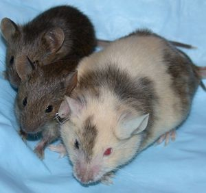 1280px-ChimericMouseWithPups
