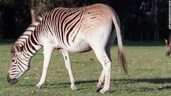 After dying off in 1880s, a group of breeders used DNA and selective breeding to recreate the quagga as best as they could. Image credit: Twitter/CNN