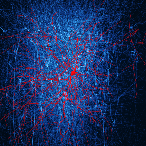 In silico retrograde staining. The presynaptic neurons of a layer 2/3 nest basket cell (in red) were stained (in blue) in a digital reconstruction of neocortical microcircuitry. Only immediate neighbouring presynaptic neurons are shown. Credit: EPFL/Blue Brain Project
