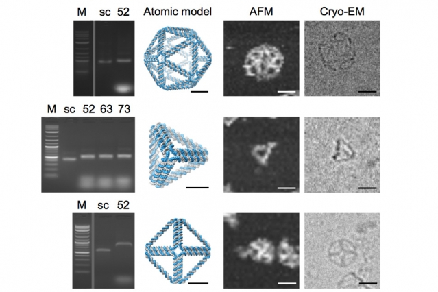Some of the DNA shapes actually created with the DAEDALUS algorithm, with cryo-electron microscopy images at far right. Credit: Bathe et al.