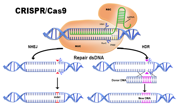 The CRISPR/Cas9 process.