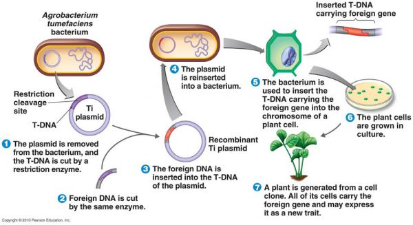 Illustration of the genetic modification method using the Agrobacterium tumefaciens species to insert transgenes into plant cells. Credit: Pearson Publishing, Inc.
