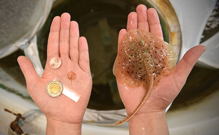 Penny-sized biohybrid: robotic stingray (left) and Leucoraja erinacea (right).