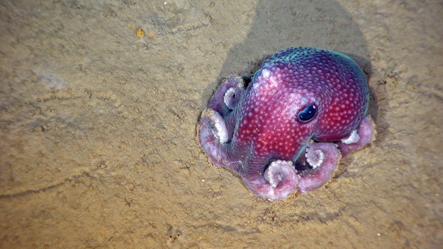A benthic octopus found off the coast of Nova Scotia. Credit:DFO