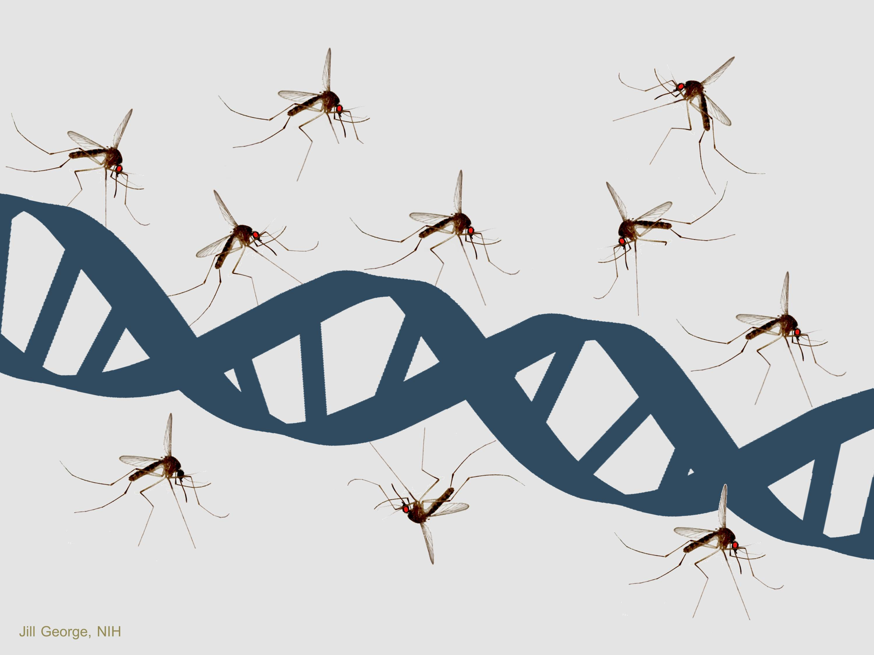 Gene-drive can eliminate mosquitoes