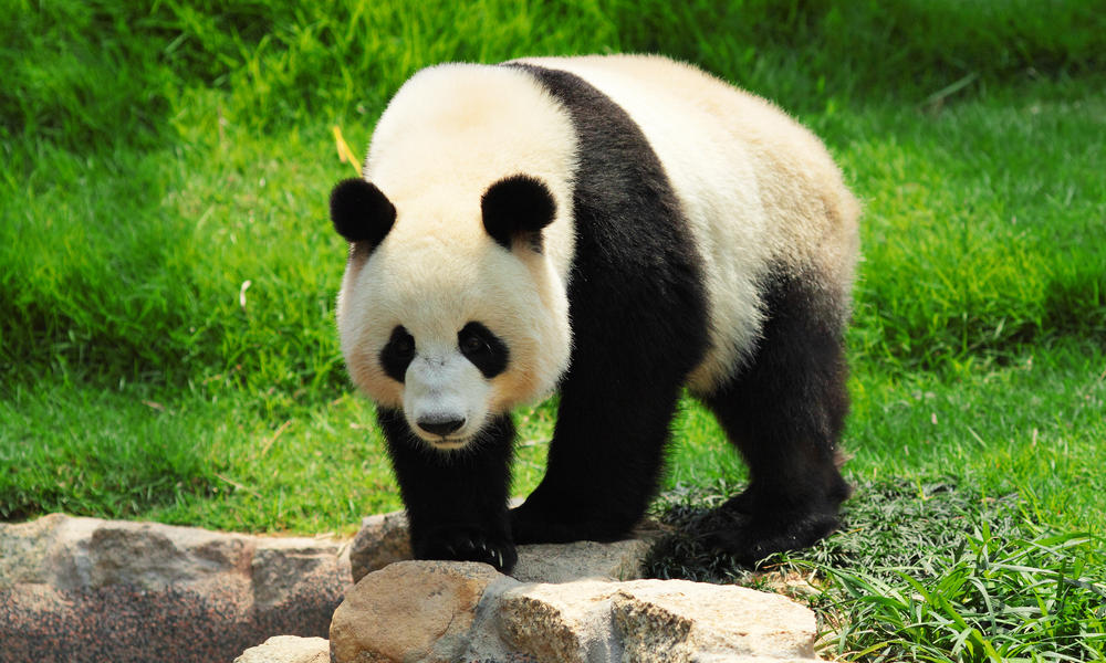 The Giant Panda. Thanks to conservation efforts, this fluffy creature has been downgraded from 'Endangered' to 'Vulnerable.' Credit: World Wildlife Fund