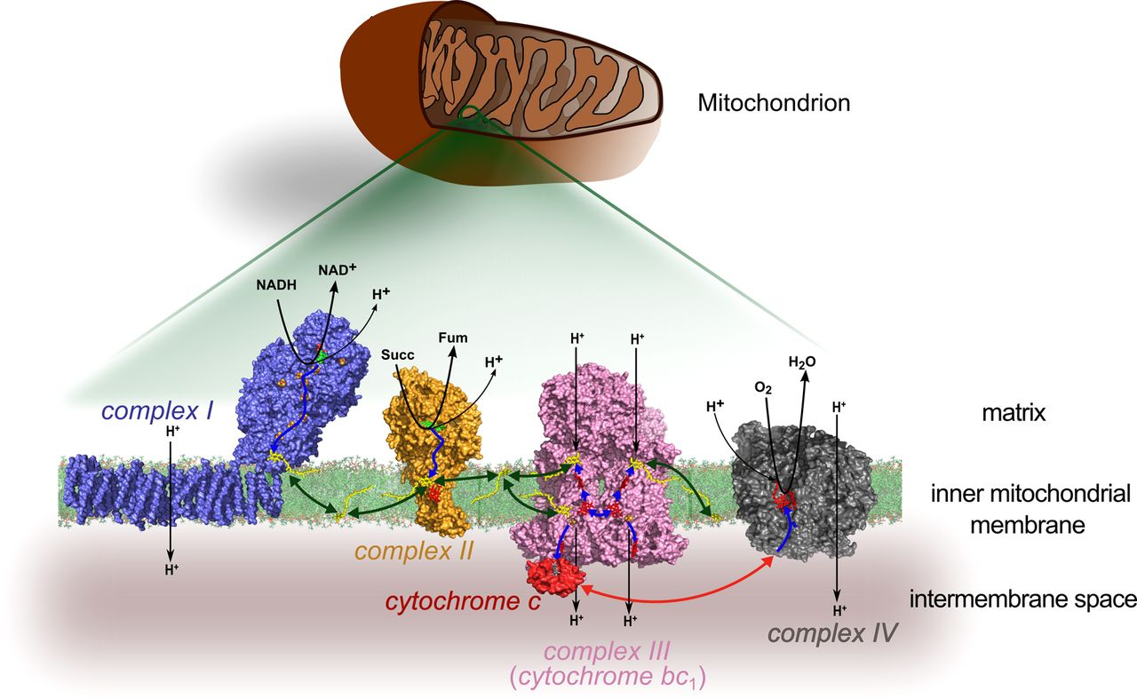 Cytochrome c. Image: American Physiological Society Journals.