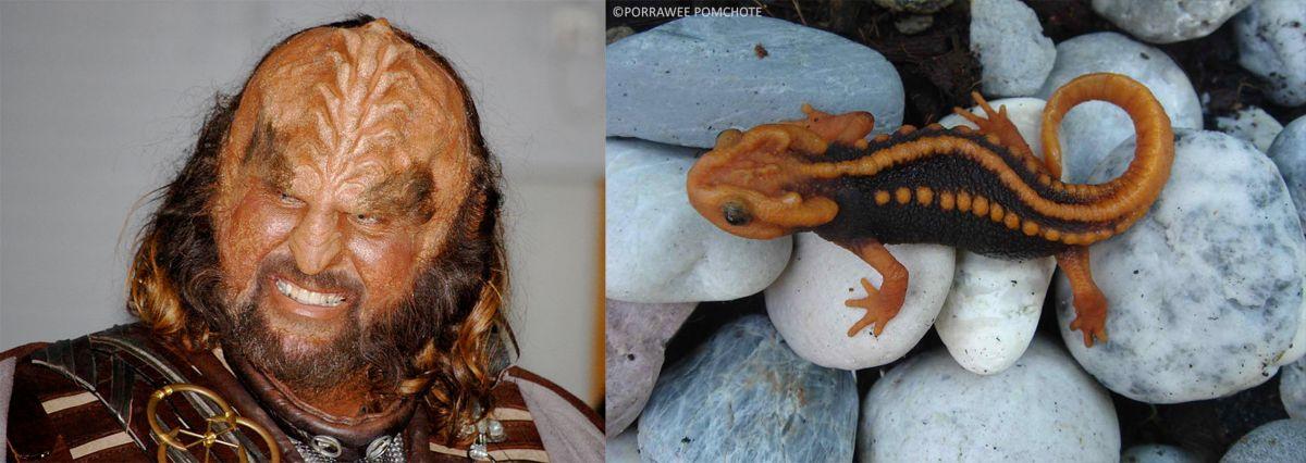 Klingon (left). Image: Cristiano Betta, Flickr; Klingon newt (right). Image: Porrawee Pomchote.