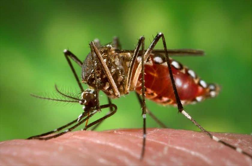 dengue-mos_m2216653