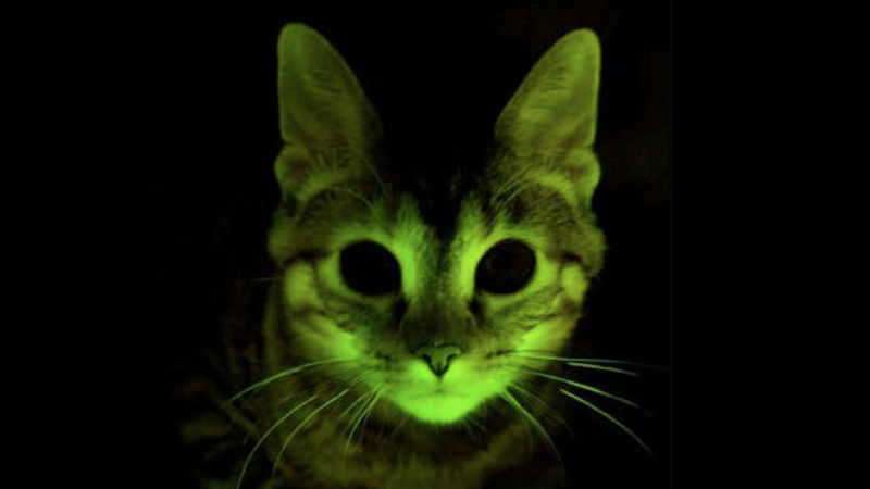 Genetically engineered florescent cat. Credits: Nature
