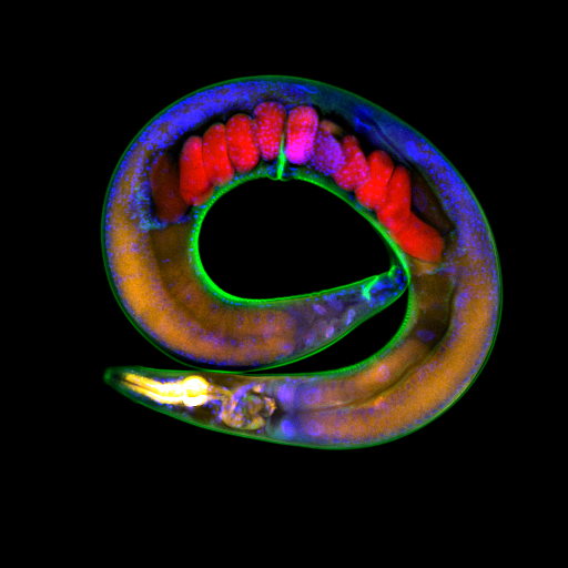*3* Genetically Modified Worms were shown to Glow for 14 Generations