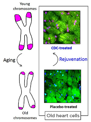 stem cells aging anti-aging research medicine