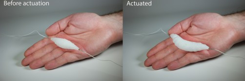 The synthetic muscle before and after actuation. Image Credit: Aslan Miriyev/Columbia Engineering