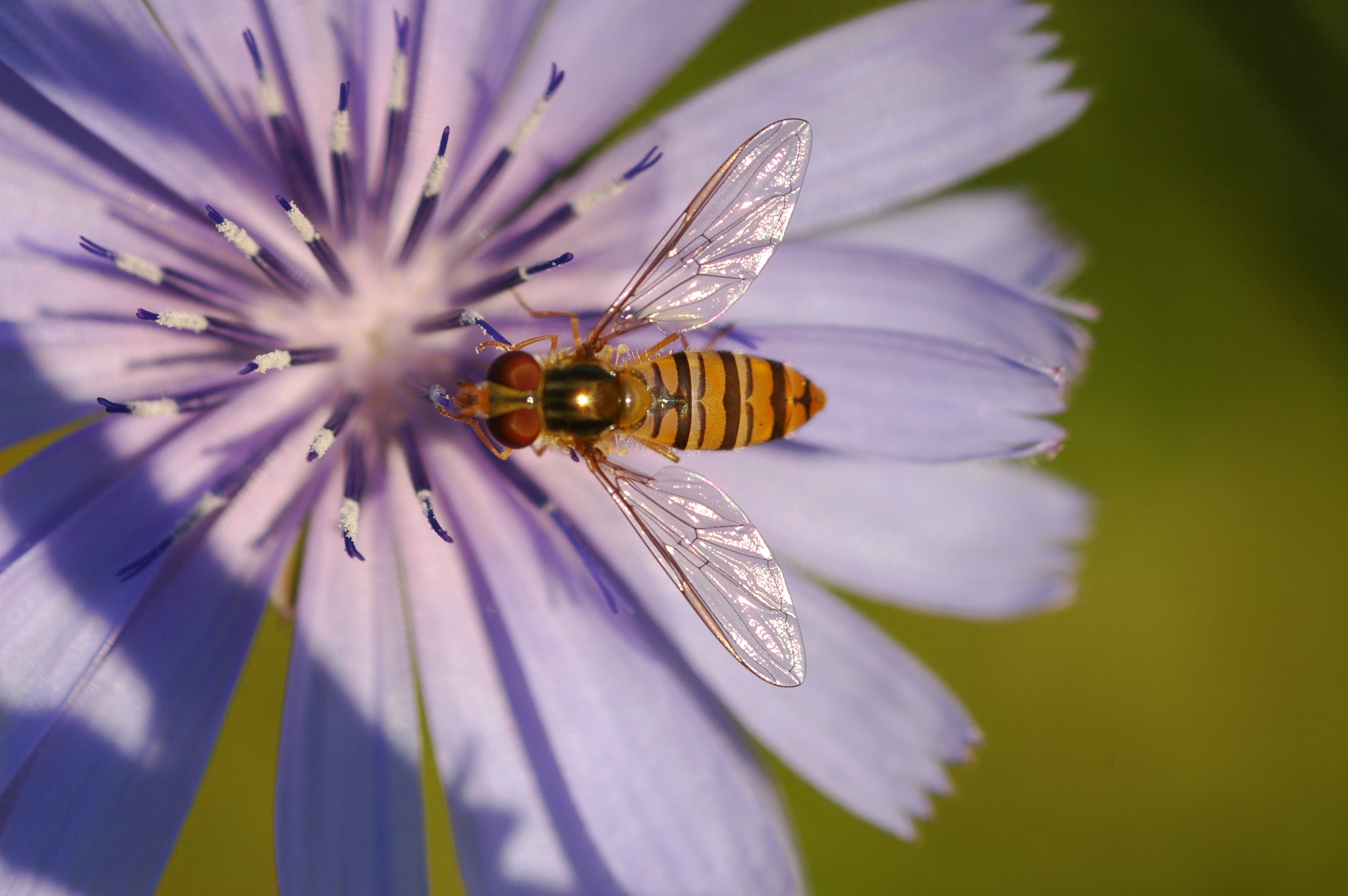 A striped insect pollinates a purple flower. Massive insect deaths in Germany suggest this vital ecosystem service could soon be lost.