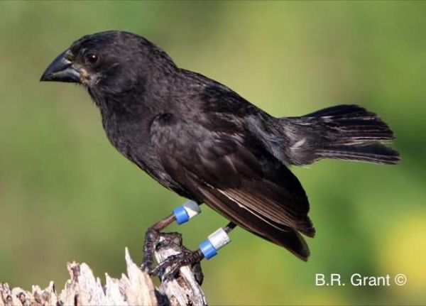 Big Bird is a new species of finch in the Galapagos Islands.