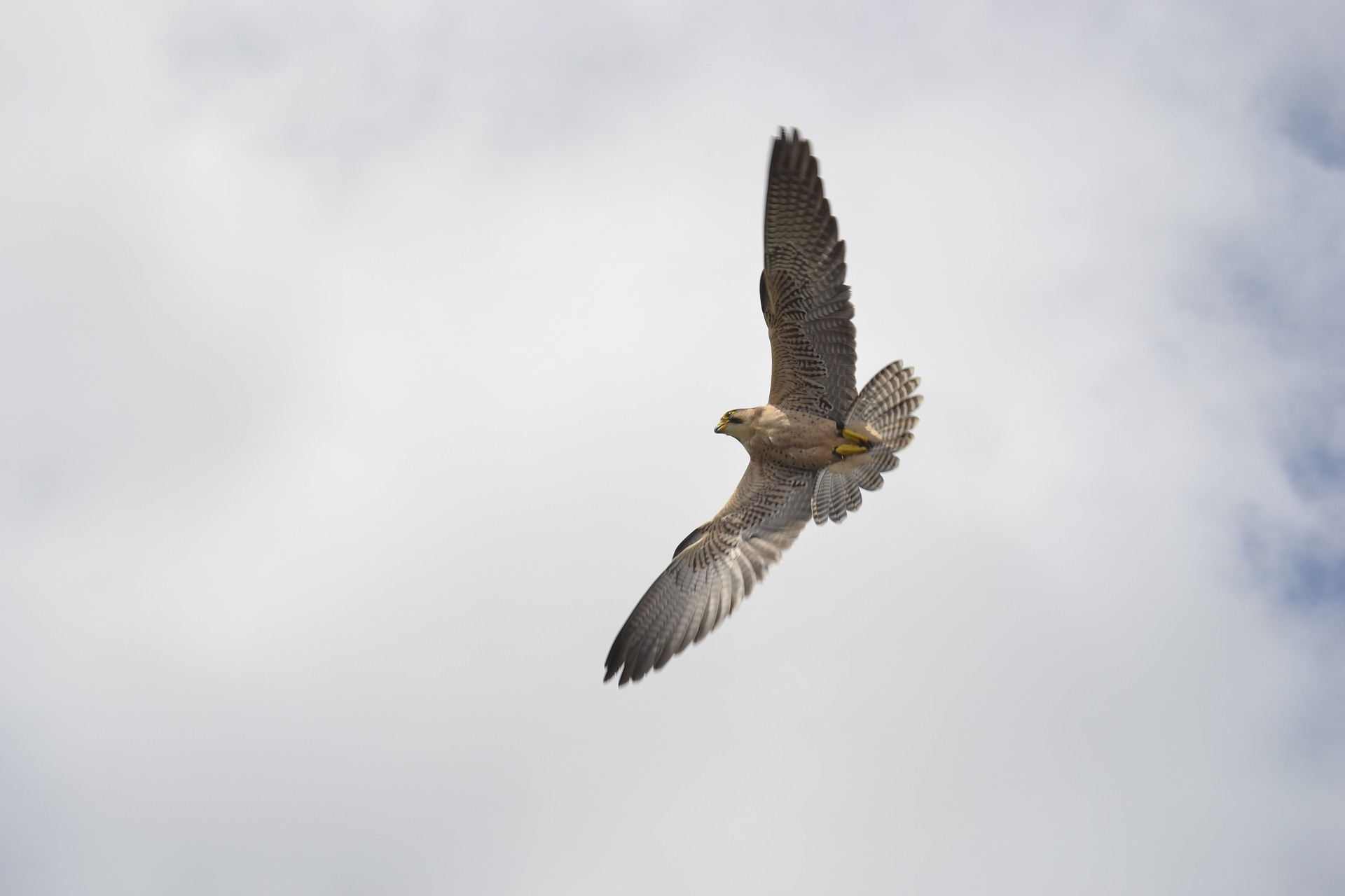 A peregrine falcon on the attack. By imitating the strategies of these powerful birds, the Air Force hopes to create bio-mimicking drone defense systems.