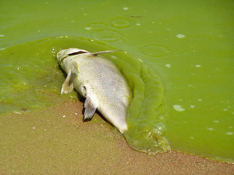 Algal blooms cause dead zones that kill marine life.