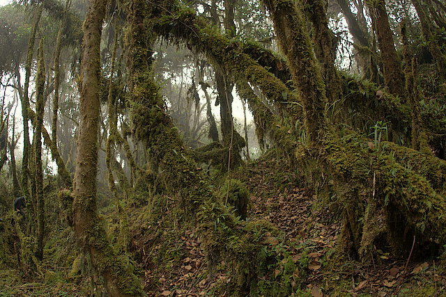 Andean cloud forest, Wayqecha Biological Station, Peru. Image Credit: Acatenazzi / Wikimedia Commons