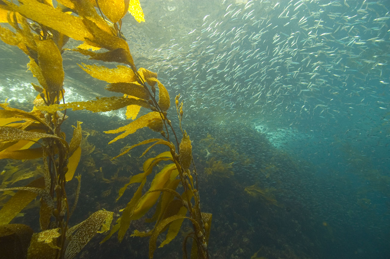 Swaying yellowish kelp and a school of silver sardines shown in blue-green water. Marine food webs like this one could potentially collapse due to climate change.