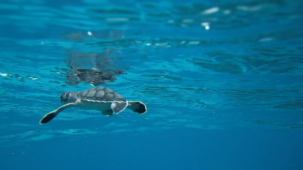 A sea turtle hatchling swims at the surface of blue ocean water. Sea turtles like this one are hatching primarily female in warm northern Australia.