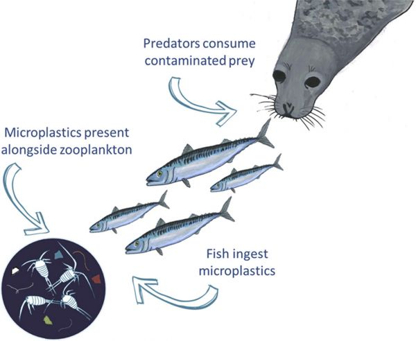 microplastic poisoning trophic transfer pollution marine life