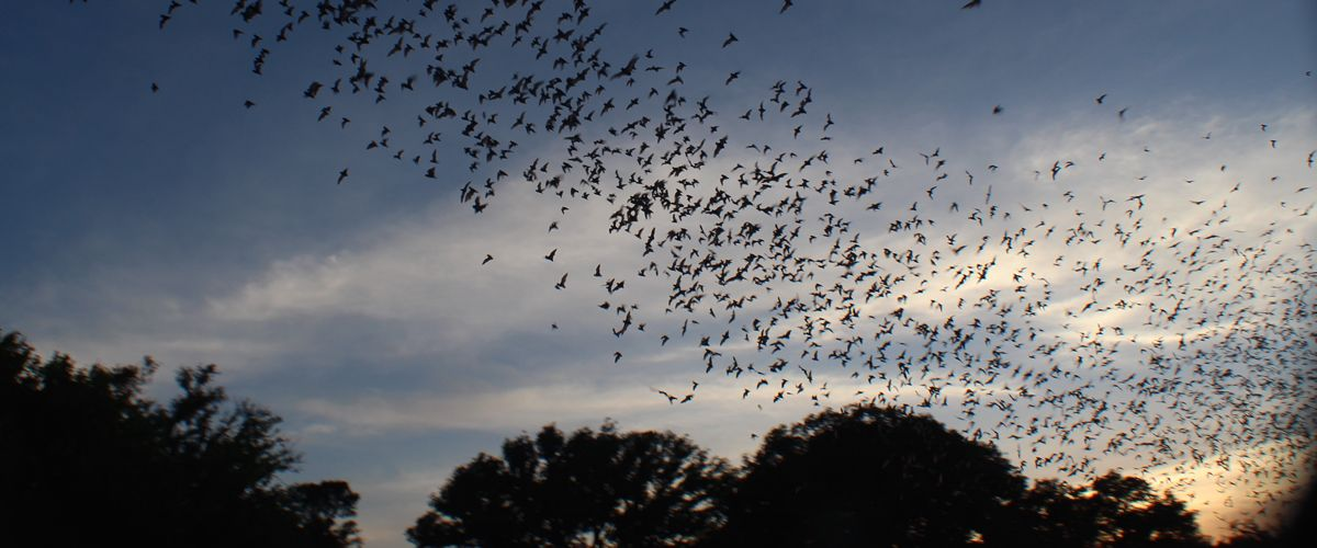 Bats leaving Bracken Cave in Texas to feast on nearby insects. Image Credit: Phillip Stepanian