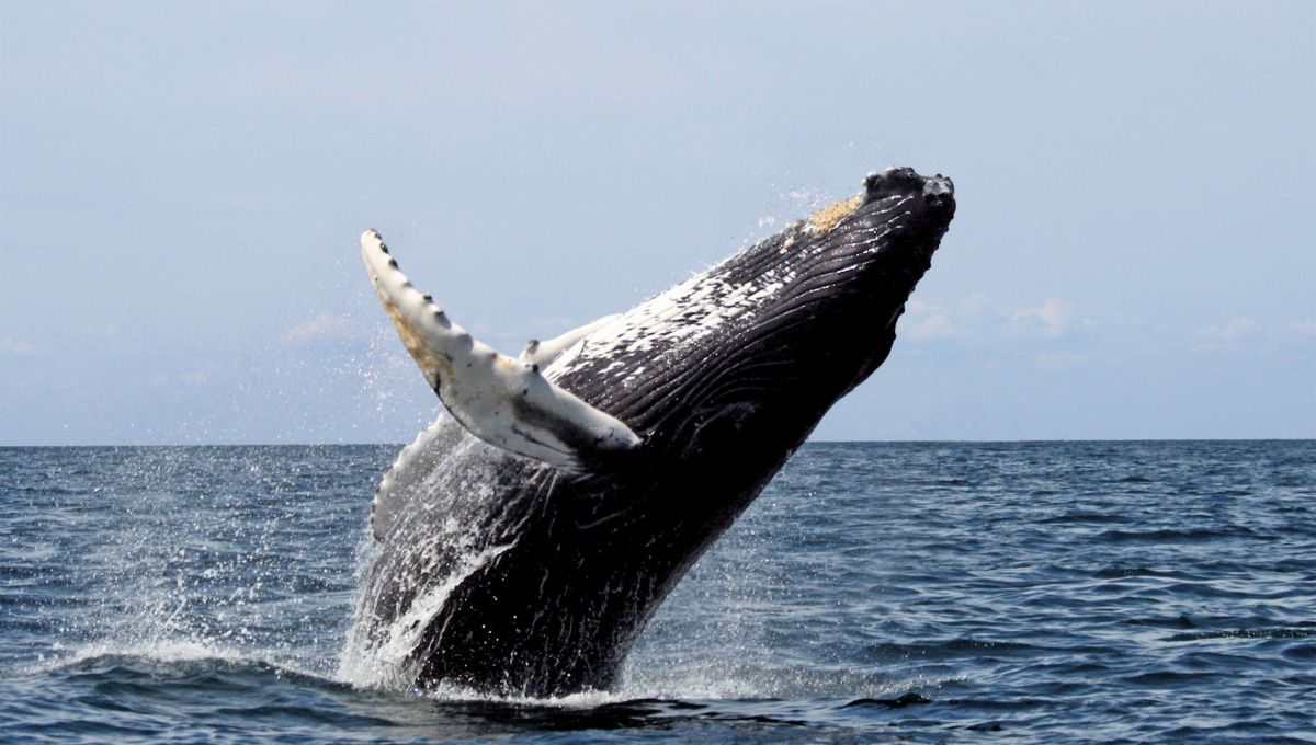 Whale species that have baleen filter in microplastics with seawater. Image Credit: Wikipedia