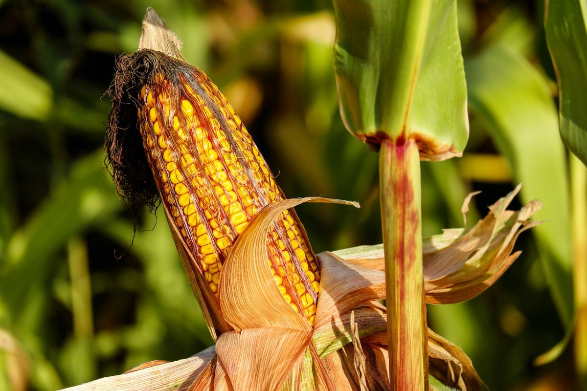 An ear of corn peeled on the stalk, with corn silk turning brown and gross at its tip. A recent meta-analysis found that GM corn improved crop yields and had fewer mycotoxins, which could be produced by fungus if a corn is left open like this.