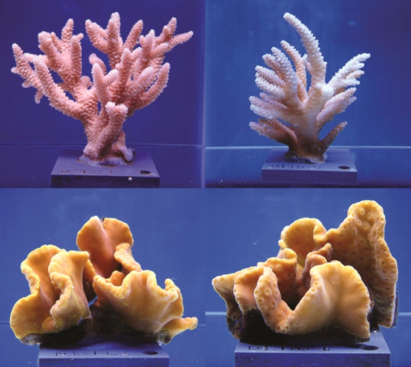The top two images show staghorn coral before and after exposure to higher temperatures and acidity. Bottom images show the seemingly more resilient yellow scroll coral.Courtesy of The Ohio State University