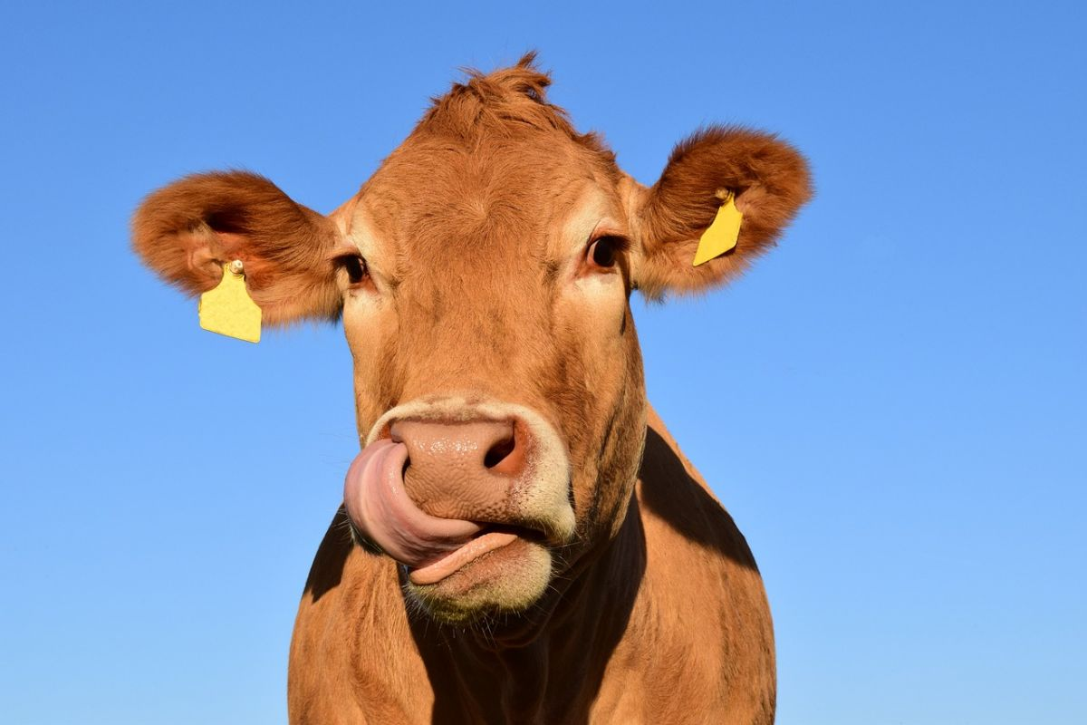 A light brown cow with yellow tags in both ears. Cows like this one produce methane thanks to their unique gut bacteria. Image Credit: ulleo / pixabay