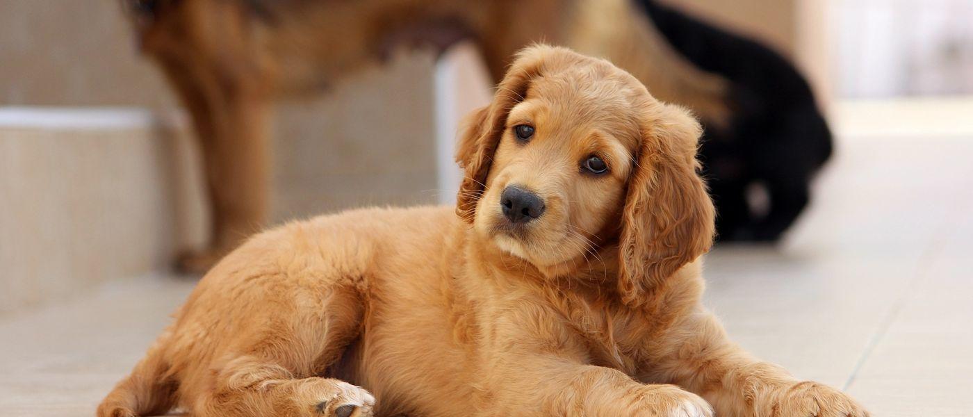 Pet store puppies are spreading antibiotic-resistant bacteria