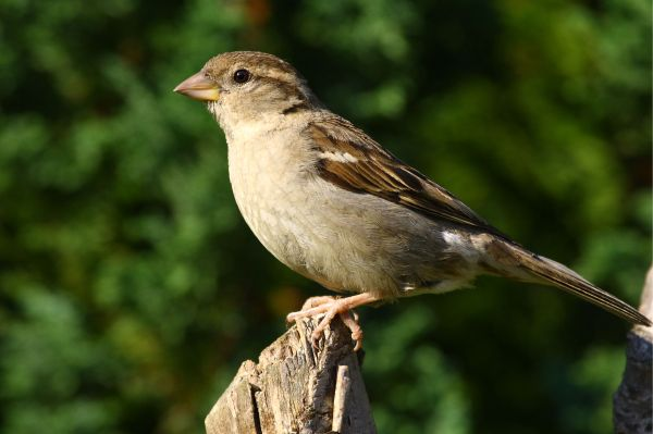 Insecticides have detrimental effects on songbirds like this sparrow.