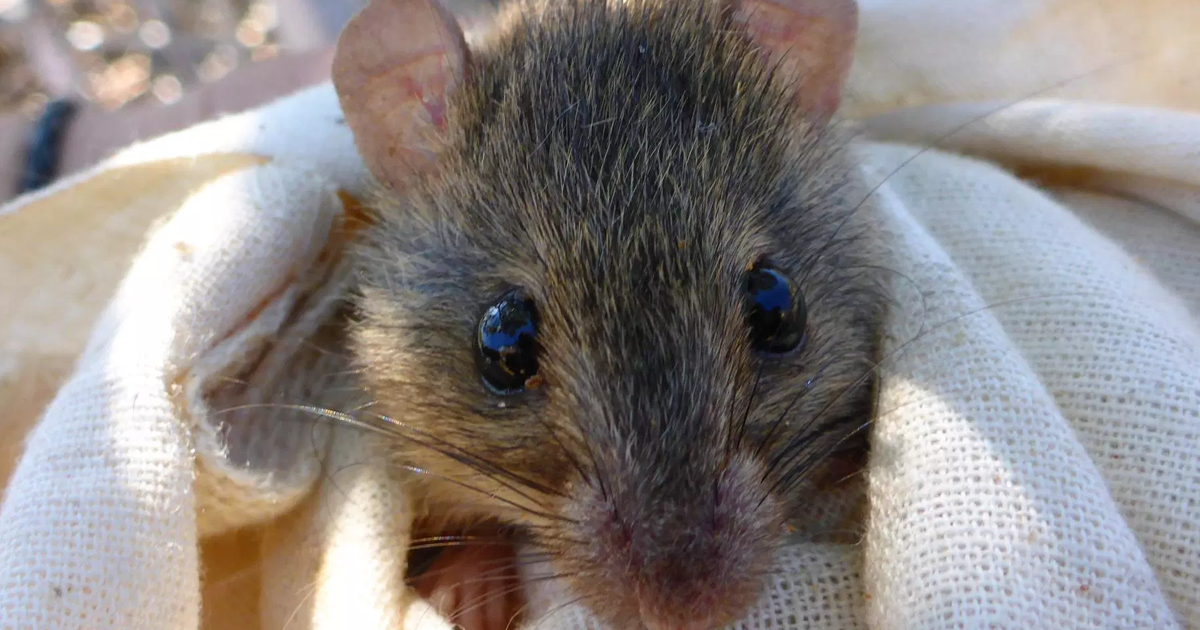 Climate Change Just Wiped out Its First Mammal